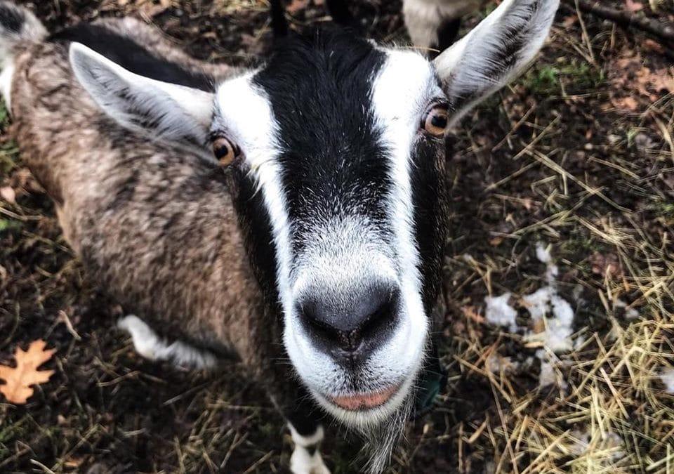 Goats!  Part One – Let's Goat Buffalo